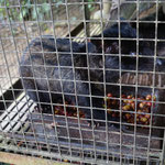 Asian palm civet, for producing the Luwak coffee bean