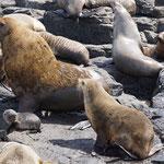 Seebären Kolonie nähe Nobies Centre