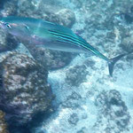 Tunafish