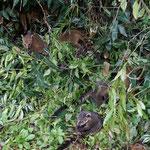 Nasua babies
