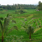 Reis Terrasse (Rice terrace)