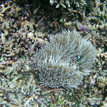 Anemone with anemone fishes