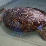 Schildkröte Krankenhaus