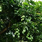 Manggobaum