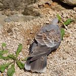 Wild doves