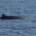 Zwergwal oder auch Minkwal