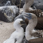 Blue footed booby family