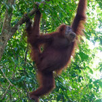 Orang Utan female in the jungle of Bukit Lawang, Sumatra