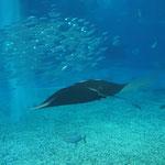 Manta ray in main tank