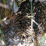 Echidnas also known as spiny anteaters, egg laying mammal, Cape Conran