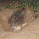 Unechte Karettschildkröte nach der Eiablage