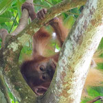 Orang Utan baby in the jungle of Bukit Lawang, Sumatra