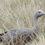 Cape Barren Goose, Phillip Island Nature Park