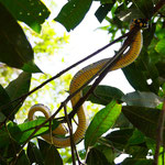 Tree snake in the jungle of Bukit Lawang, Sumatra