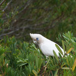Cockatoo in Narooma
