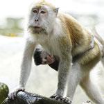 Langschwanz Makak mit Baby im Dchungel von Bukit Lawang