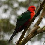 Vogel in Pebbly Beach, Murramarang National Park
