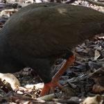 Eine art Wachtel auf der Komodo Insel, die Warane nutzen Ihre Nester für die Brut