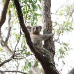 Wild Koala, Noosa National Park