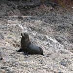 Seal, Akaroa