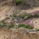 Schöne bunte Blumen in Phillip Island Nature Park