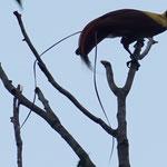 Paradiesvogel beim balzen