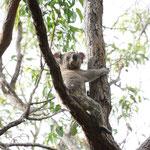Koala in freier Wildbahn, Noosa National Park