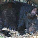 Tasmanische Teufel am schlafen, Lone Pine Koala Sanctuary