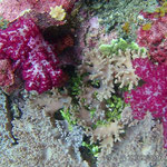 Beautiful soft corals