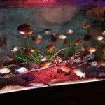 Ein Plastikskelett im Piranhas Becken...na ja...