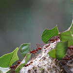 Blatt-schneidende Ameisen