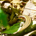 Lizard in the jungle of Bukit Lawang, Sumatra