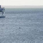Die Überfahrtsfähre und einen Delfin (Ferry and a dolphin)