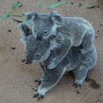 Koala Mutter mit Kind, Lone Pine Koala Sanctuary