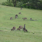 Kangaroos behind the caravan park in Mallacoota