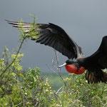 Fregattvogel Männchen