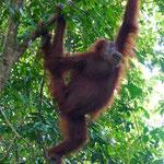 Orang Utan Weibchen im Dchungel von Bukit Lawang