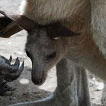 Känguru Baby, Tierpark Gladstone