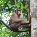 Short tail macaque, male