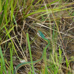 Grüne Papageienschlange