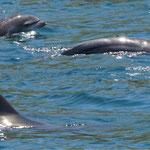 Großer Tümmler Delfin mit Baby