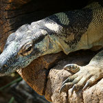 Perentie, Australias largest lizard, Lone Pine Koala Sanctuary
