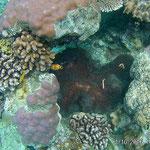 Anemone mit Anemonenfische