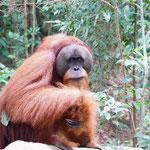 Orang Utan Männchen im Dchungel von Bukit Lawang