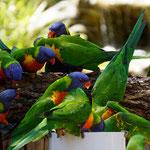 Rainbow Lorikeets, Lone Pine Koala Sanctuary