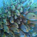 Großer Fischschwarm, man konnte hindurchtauchen
