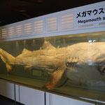 Preserved Megamouth shark