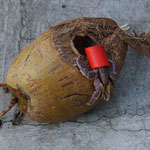 Coconut crab using a red plastic cover for protection