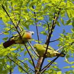 Vogel am Tobasee, Sumatra