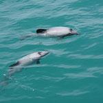 Hector dolphins, Akaroa